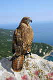 The falcon looks at us, sitting on top of mountain Stock Image
