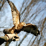 Falcon on master hand. Falcon sitting on master hand Royalty Free Stock Photography