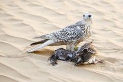 Falcon Meal Stock Photos