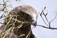 Falcon with olive branch Royalty Free Stock Image