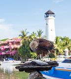 Falcon pecking fish in the background of the lighthouse Phuket, Thailand.  royalty free stock images