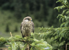 Falcon perched on branch Royalty Free Stock Photos