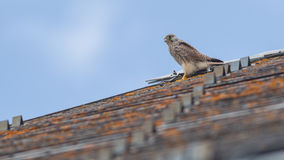 Falcon perched on a roof Stock Photos