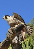 Falcon Peregrine on a falconer's hand Royalty Free Stock Photography