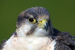Falcon portrait Stock Image