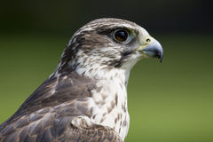 Falcon portrait Royalty Free Stock Photo