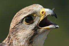 Falcon portrait. A closeup portrait of a falcon Stock Photography