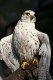 Falcon portrait Royalty Free Stock Photo