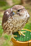 Falcon portrait Royalty Free Stock Images