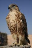 Falcon portrait Stock Image