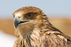 Falcon portrait Stock Images