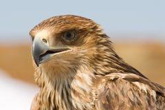 Falcon portrait Stock Images