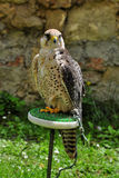 The falcon Royalty Free Stock Photography