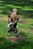 The falcon Stock Image