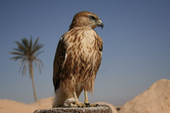 Falcon portrait I Stock Photography