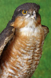 Falcon portrait taxidermy Royalty Free Stock Photos