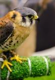 Falcon portrait Stock Photos