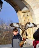 Falcon posing Stock Photo