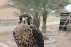 Falcon. Posing for a photo Royalty Free Stock Photo