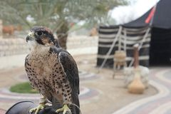 Falcon. Posing for a photo Royalty Free Stock Images