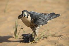 Falcon on prey in a desert. Peregrine falcon on prey in a desert near Dubai Stock Photos