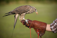 Falcon with a prey. A falcon eating a chick, resting after a training flight Stock Image