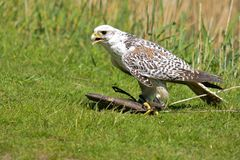 Falcon with prey Stock Photo