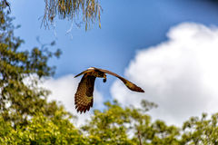 Falcon with prey. In mid flight Royalty Free Stock Photo