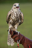 Falcon with a prey. A falcon resting after a training flight Royalty Free Stock Photos