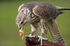 Falcon with a prey. A falcon resting after a training flight and eating a chick Royalty Free Stock Photography