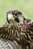 Falcon ready for takeoff Royalty Free Stock Images