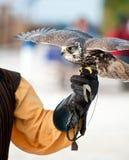 Falcon ready to fly Stock Image