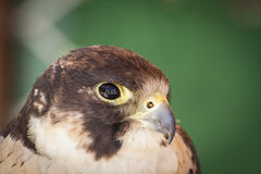 Falcon on a sample of birds of prey, medieval fair Stock Photos