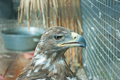 Falcon. Severe and speaking glance of a bird prey, closeup Stock Photo