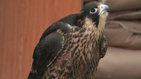 Falcon side view. Side view of a nice falcon at Falcon Souq near Souq Waqif in Doha center, Middle East, Arabian Peninsula. Falconry is very popular in Qatar stock video footage