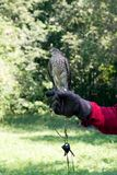 A bird of prey for Russian falconry. stock images