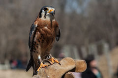 Falcon sits on the human hand in Zoo. Falcon sits on the human hand in Royalty Free Stock Images