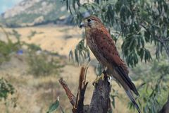 Falcon sitting on a branch on a background of willow and mountains royalty free stock photo