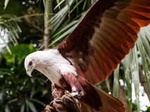 Falcon sitting on gloved hand of handler Royalty Free Stock Photography