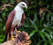 Falcon sitting on gloved hand of handler Royalty Free Stock Photo