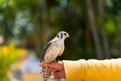 A Falcon sitting on the hand Royalty Free Stock Photo
