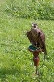 Falcon sitting on a perch Stock Photo