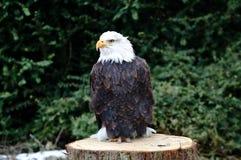Falcon Stock Photography