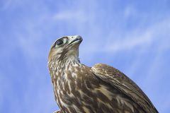Falcon in the sky Royalty Free Stock Photography