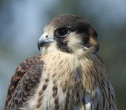 Falcon species. Falco sparverius X peregrinus, a hybrid bird species, used in falconry royalty free stock images