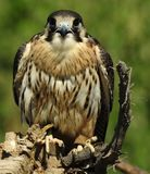 Falcon species stock photos