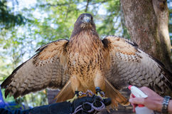 Falcon sprayed with water. Close-up of a captive falcon at a wildlife sanctuary opening his wings wide while sprayed with water Royalty Free Stock Images