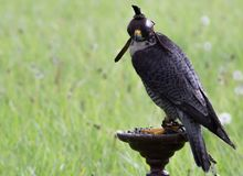 Falcon on a stand stock photography