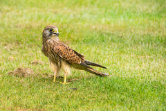Falcon. Falcon standing on the green grass Royalty Free Stock Images