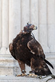 Falcon on a stone Royalty Free Stock Photos